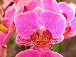 nov-vid-orhideya